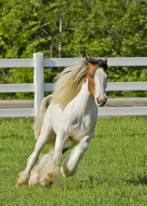 Dancer - Gypsy Vanner Mare
